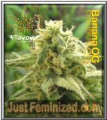 Flavour Chasers Banana OG - A Cannabis Seed Supplier you can trust